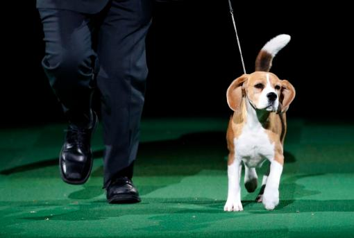 """Miss P, a 15-inch Beagle who won """"Best in Show"""", is run by handler William Alexander at the139th Westminster Kennel Club Dog Show at Madison Square Garden"""